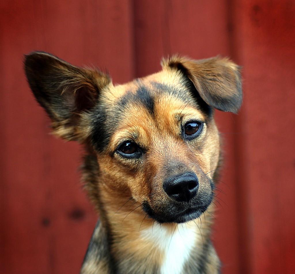 Cachorros podem prever ataques epiléticos com a ajuda do faro, diz estudo