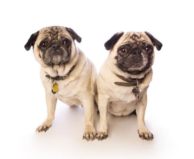 Clonagem de cachorros cresce na Coréia do Sul